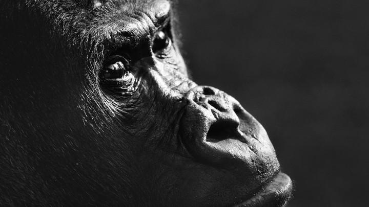 The face of an ape