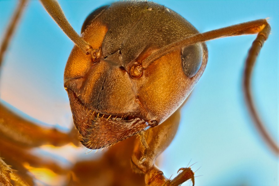 A close view of a red ant's head