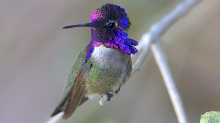 A male Costa's hummingbird