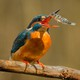A kingfisher catching a stickleback