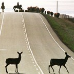 Deer crossing a two-lane highway