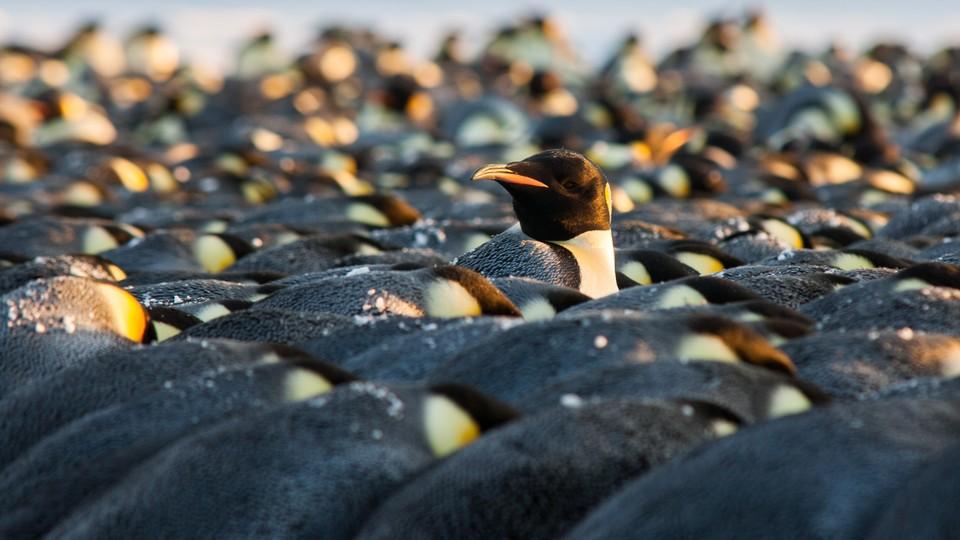 Penguins huddling