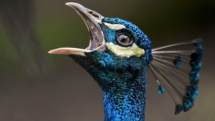 A peafowl with its beak open