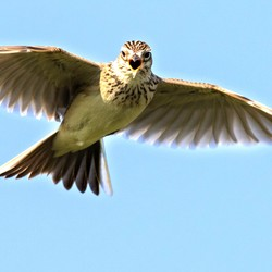 A skylark flying with its wings open against a bright blue sky